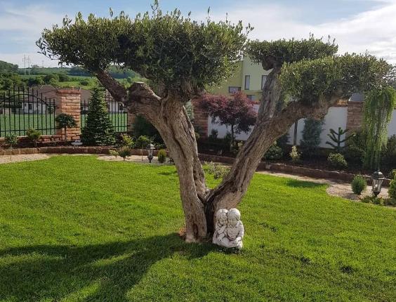 olivovnik pestovanie